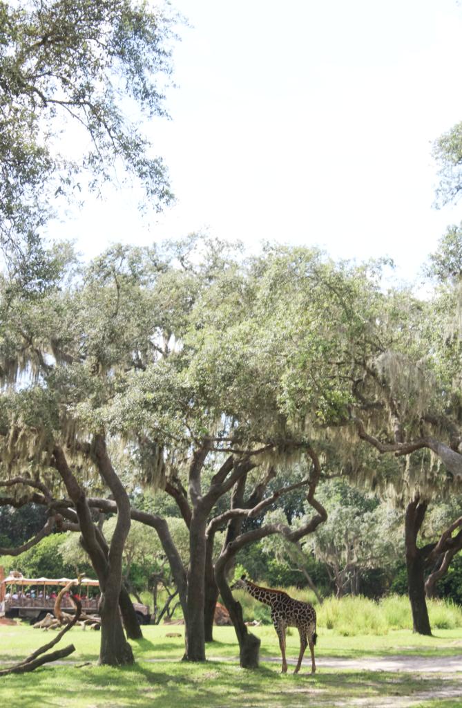 Orlando Vacation - Disney - Animal Kingdom -Zebras - At Home With Zan