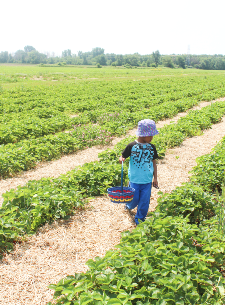 Trip to the Strawberry Farm - A Family Outing - Strawberry Picking - At Home With Zan